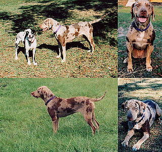 Out and About: Louisiana's Catahoula Leopard Dog