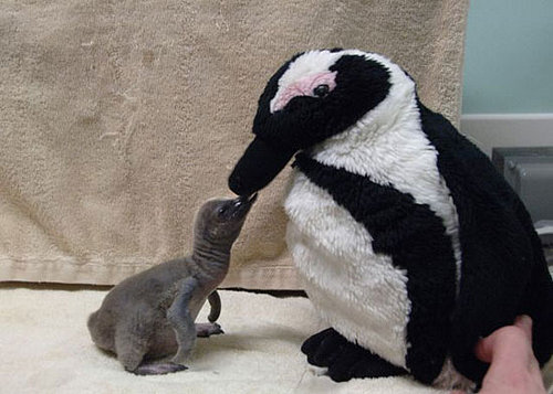 Video: Feathers Fly for Baby Penguin Kisses!