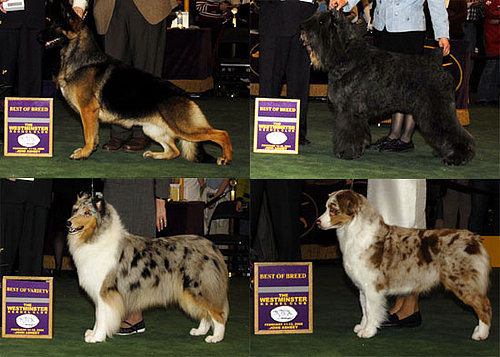 2008 Westminster Winners: Herding Group