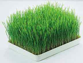 wheatgrass, is it really that great?