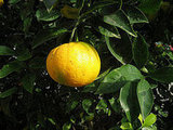 A Mandarin Orange Tree