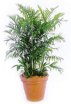 Plants That Purify: Bamboo Palm