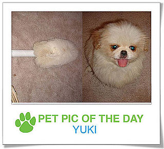 Pet Pic of the Day: Yuki the Duster