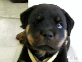 Cute Alert: Rottweiler Puppy Has the Hiccups!