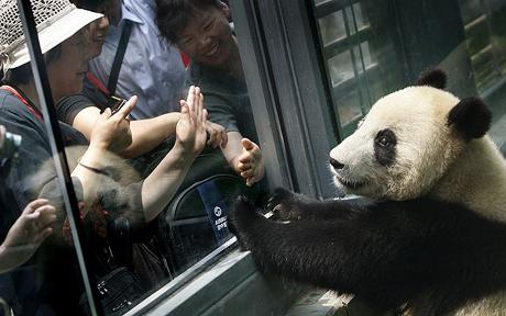 Pandas Fed Chicken Soup to Soothe Stress