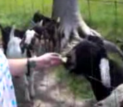 Talking Goat Won't Shut Up