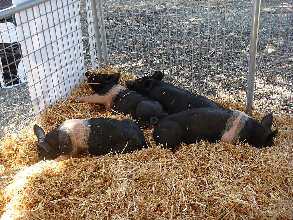 Striped Piggies