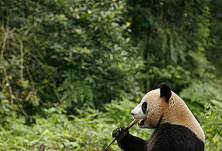 Panda Quiz on Petsugar