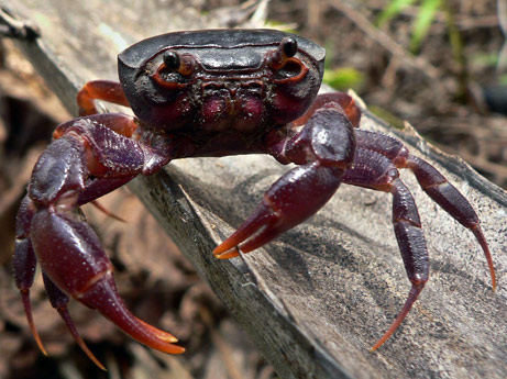 The Purple Marsh Crab