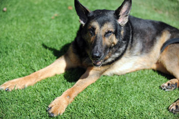 3. German Shepherd