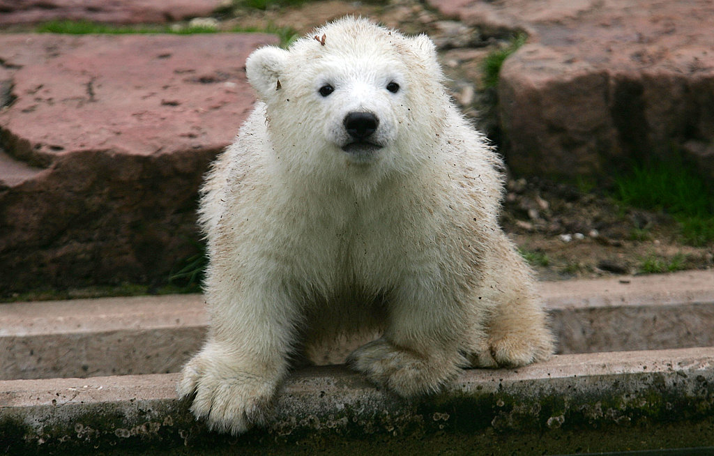 Flocke the Polar Bear at Nuremberg Zoo