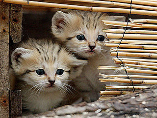 Creature Features: Sand Cats