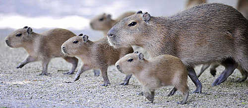 Creature Features: Capybara