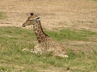 Baby Giraffe With Weakened Ankles Dies