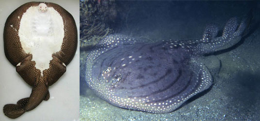 Ornate Sleeper Ray