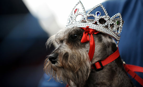 Dogs Awarded Crowns at Miss Canine Costa Rica 2008