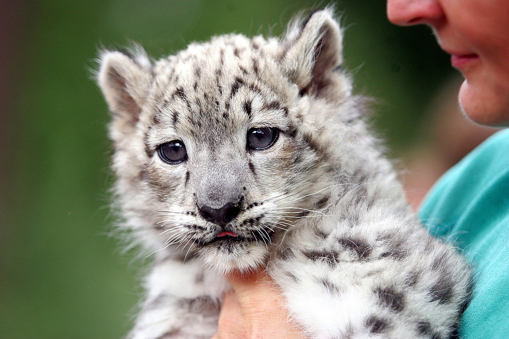 The Scoop: Meet Emba, a Baby Snow Leopard