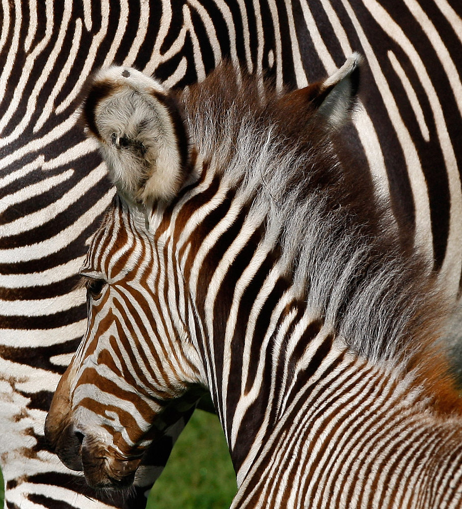 A Zebra's Born in Scotland