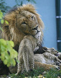 Three Berber Lion Cubs Born at Vienna's Schoenbrunn Zoo