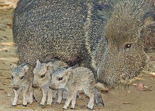 Could You Care For Chacoan Peccary Babies?