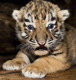 Baby Siberian Tiger, one of the world's most endangered species.