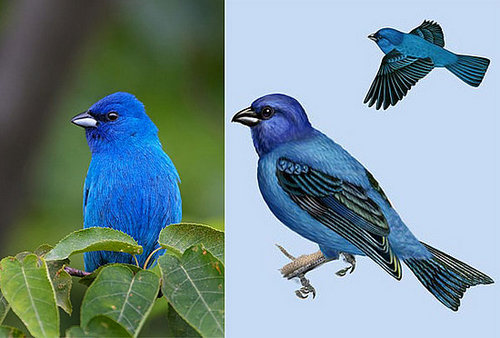 Inspired: The Indigo Bunting