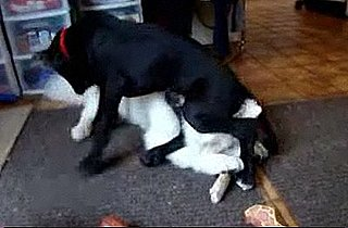 Great Dane Puppy Sits on Dog's Head Video