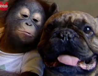 French Bulldog and Orangutan Love – Video of Bugsy and Malone Kissing