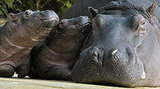 Two Little Hippos Play at Zoo Hamburg