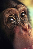 Congress Bans Chimps As Pets: In the LINK of an Eye!