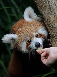 Four Paws Up! Pemba, the Red Panda, Performs Taste Test