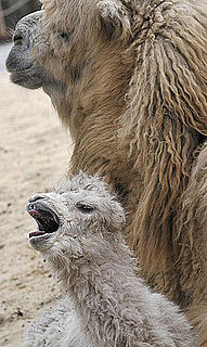 Awwdorable Baby: Jenny and Jolan the Camel-ly Family