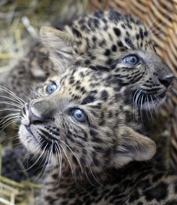 Leopards &#039;Zhongni&#039; and &#039;Zhang Jie&#039; Born At Hamburg&#039;s Hagenbeck Zoo in Gemany