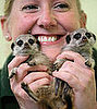 Baby Meerkats Debut at London Zoo