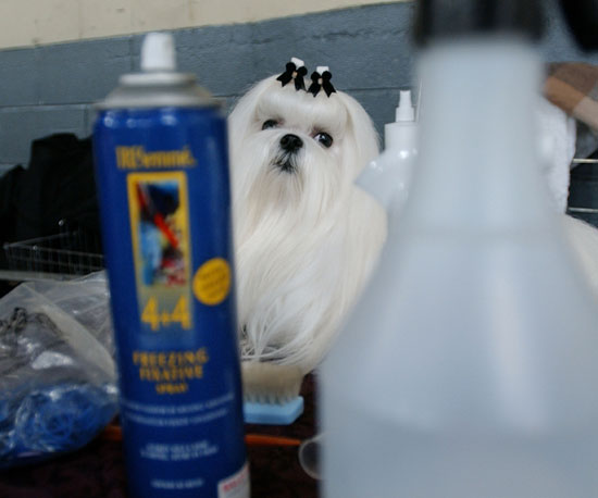 Topknots For Top Dogs: Tips From Groomer Has It