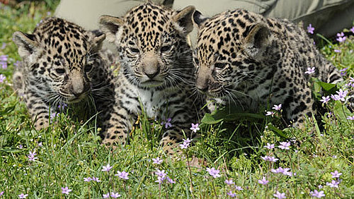 There's Three Times the Baby Jaguar Fun With New, Cute Cubs