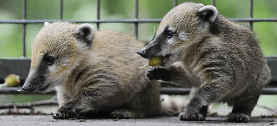 Baby Coati Cuteness