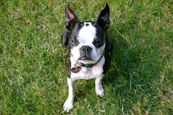Mia and Marley: Boston Terrier sisters