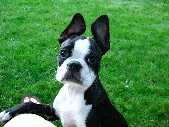 Marley and her jumbo ears