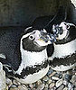 Cute Alert: German Penguins Make Case For Gay Adoption 