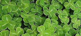 Have You Ever Bought Shamrocks For Your Home?