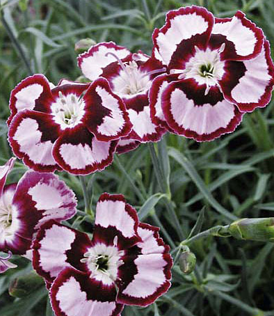 Grow your own mini-carnations with a packet of seeds ($10) from American Meadows.