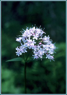 Valerian Root:  Nature's Valium