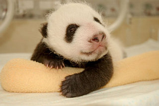 Cute Alert: Evolution Of A Newborn Panda