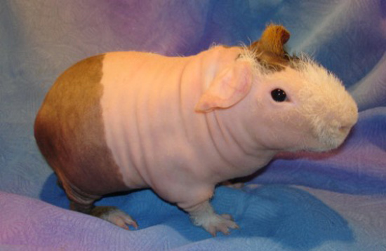 Cute Alert: Hairless Guinea Pig