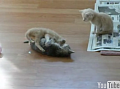Kitten Referees Kitten Fight