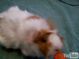 Cute Alert: Smart Guinea Pig!