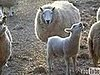 Singing Sheep Has an Announcement to Make...