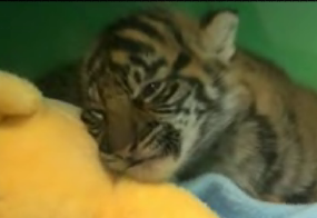 Cute Tiger Cub Gets Sleeeeepy