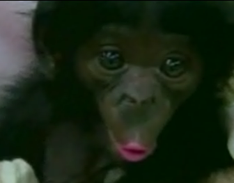 Cute Alert: Chimp Flirts for the Camera